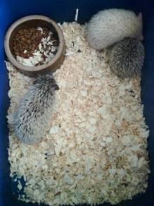 Hedgehog/ landak mini