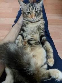 Mainecoon Mix Persian Cat