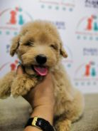 Toy Poodle Puppy * FEMALE