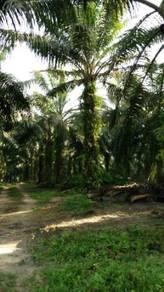 Palm oil land in MK Nagalilit, Pdg Serai
