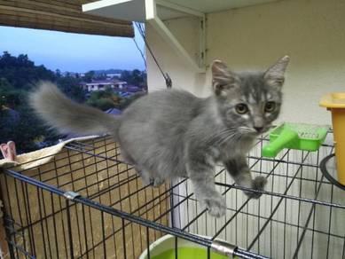 Persian Parsi Kucing