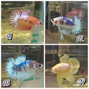 Betta Fish HMPK / Ikan Laga