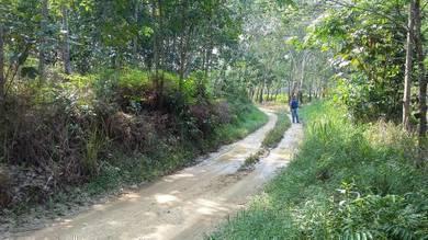 Tanaman Pokok Getah, Kg Rasau Slim River Perak