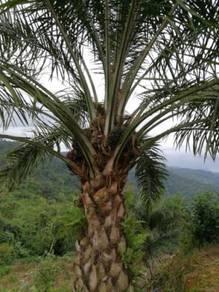 Oil Palm Land for sale at Ranau (Rm 28,000 per acre)