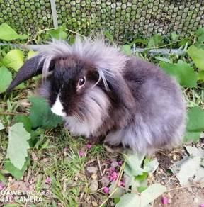 Fuzzy lop ear rabbit baby