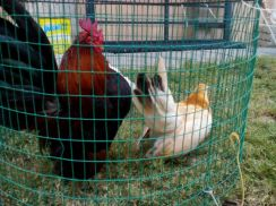Ayam serama sepasang
