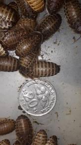 Blaptica Dubia Roaches Feeder