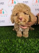 Toy Poodle Puppy * F1