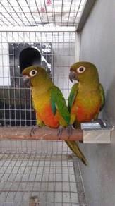 Burung sun conure hybrid pair matang siap lesen