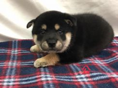 Imported Quality Shiba Inu Puppy * Black Tan
