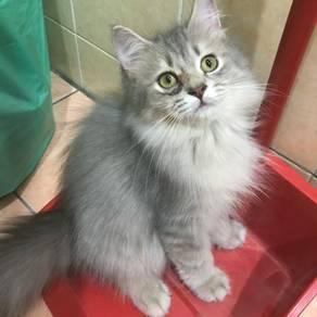 Kucing cat jantan
