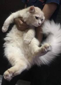 Kucing baka parsi tuk dijual