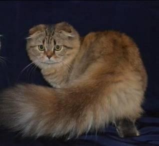 Long hair S.fold female