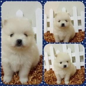Tiny Size Pomeranian Puppy With MKA Cert