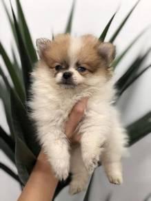 Promotion: Party color tiny Pomeranian