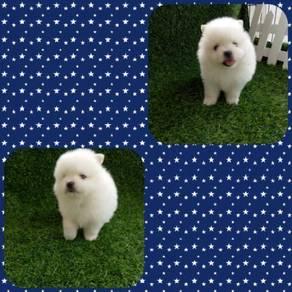 Pomeranian Puppy MKA
