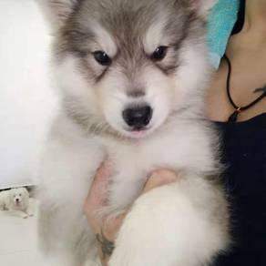Female Alaska Wooly for sales