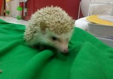 Hedgehog to rehome