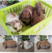 Arnab Holland Lop Pure Rabbit