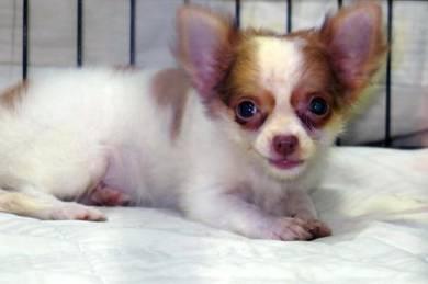 Long Coat Chihuahua MKA