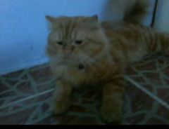 Kucing mix garfile
