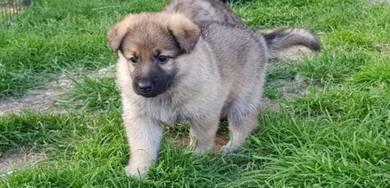 MKA Sable German Shepherd Puppies
