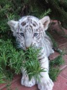 TIGER CUBS Imported Parents