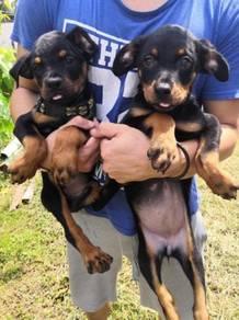MKA Quality Rottweiler Puppy * Male & female