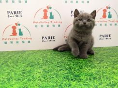 Pure breed Brithis Shorthair Cat Kitten