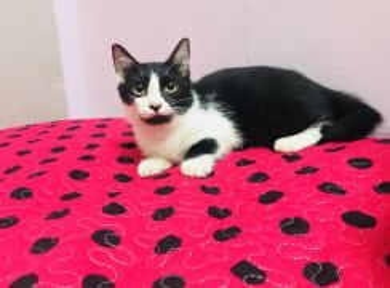 Kucing munchkin jantan kaki pendek