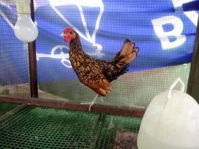 Ayam Batik / Sebright Jantan Gold