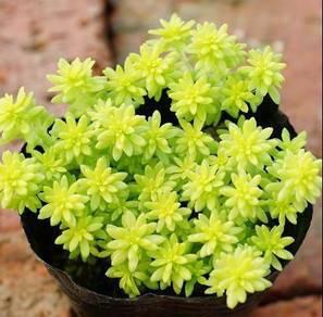 Succulent plant sedum hispanicum aureum