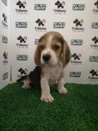 Beagle tri color