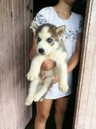Siberian husky blue eyes MKA grey white
