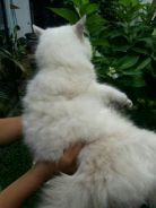Mix Persian Cats