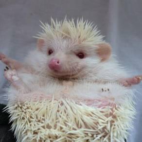 2 Albino hedgehog male