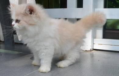 Kucing parsi semi flat face peak nose