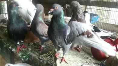 Burung Merpati RUNTT