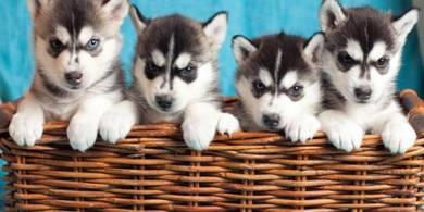 S Husky ~ Promotion Now `