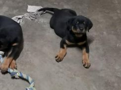 Last male Quality Rottweiler puppy available.