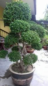 Pelbagai bunga,bonsai,orkid