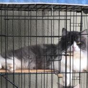Kucing Persian Semi Flat Face