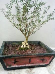 Pokok Kayu Putih(Wangyang)