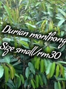 Anak pokok Durian monthong