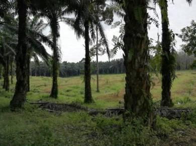 Ladang Kelapa sawit - 11 Acres Jalan Besar Kuala Krau