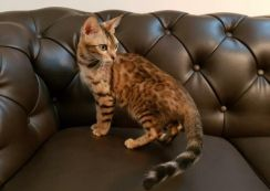 Female Bengals. All Proven Adults