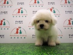 Quality Bichon Frise Puppy * MALE 1