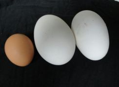 Telur angsa