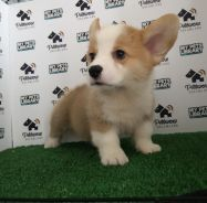 Pembroke welsh corgi with mka