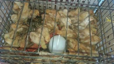 Anak ayam kampung kacuk